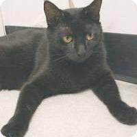 Domestic Shorthair Cat for adoption in Miami, Florida - Charisma
