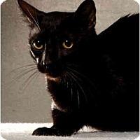 Adopt A Pet :: Shredder - New York, NY