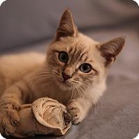 Adopt A Pet :: Alfie - Brooklyn, NY