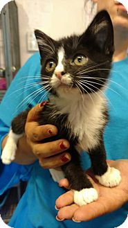 Domestic Shorthair Kitten for adoption in Hanna City, Illinois - Hendrix