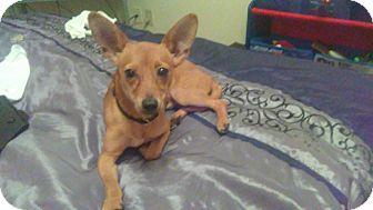 Rat Terrier/Fox Terrier (Toy) Mix Puppy for adoption in Houston, Texas - Peanut