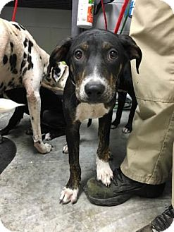 Dalmatian Mix Puppy for adoption in Paducah, Kentucky - Parker
