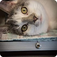 Adopt A Pet :: Meesha - Madionsville, KY