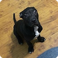 American Staffordshire Terrier/Pit Bull Terrier Mix Puppy for adoption in Covington, Tennessee - Tj