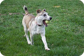 Husky/Labrador Retriever Mix Puppy for adoption in Sparta, New Jersey - Kalisi