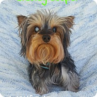 Adopt A Pet :: Bradley Cooper - Wellington, FL