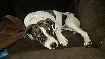 Boxer/Pointer Mix Dog for adoption in Huntley, Illinois - Remington