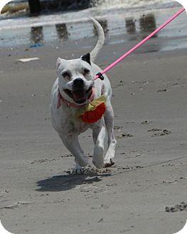 Dalmatian Mix Dog for adoption in Media, Pennsylvania - Dixie *Waived Fee!*