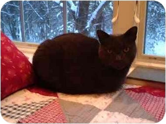 Russian Blue Cat for adoption in Quincy, Massachusetts - Smoke