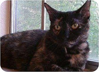 Domestic Shorthair Cat for adoption in Austin, Texas - Gabby