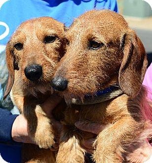 Dachshund Dog for adoption in Gardnerville, Nevada - Schnitzel