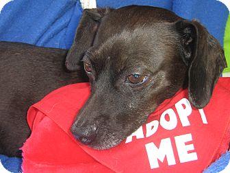 Dachshund/Chihuahua Mix Dog for adoption in Irvine, California - Aidan-WATCH MY VIDEO!!!