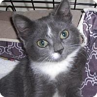 Adopt A Pet :: Mittens - Richmond, VA