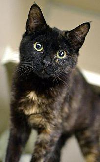 Domestic Shorthair Cat for adoption in Philadelphia, Pennsylvania - Lemon