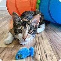 Calico Kitten for adoption in Chandler, Arizona - Cashew (Pending Adoption)