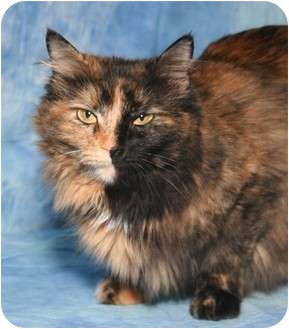 Domestic Longhair Cat for adoption in Cincinnati, Ohio - Rhaney