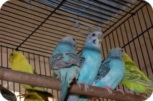 Parakeet - Other for adoption in Brooklyn, New York - Parakeets