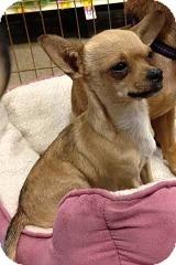 Chihuahua Mix Dog for adoption in Mesa, Arizona - Winston
