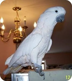 Cockatoo for adoption in Northbrook, Illinois - Peachie