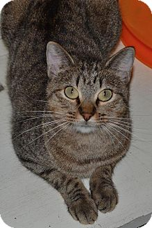 Domestic Shorthair Cat for adoption in Roanoke, Texas - Tia