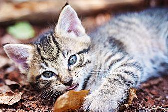 Domestic Mediumhair Kitten for adoption in Raleigh, North Carolina - Evie