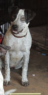 Australian Cattle Dog/Labrador Retriever Mix Puppy for adoption in Denver City, Texas - Serena
