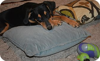 Beagle/Hound (Unknown Type) Mix Puppy for adoption in Winchester, Kentucky - Alayna