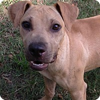 Shar Pei Mix Dog for adoption in Hartford, Connecticut - Junior