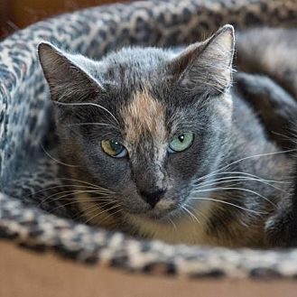 Domestic Shorthair Cat for adoption in St. Paul, Minnesota - Clarice