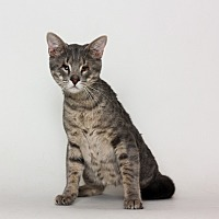 Adopt A Pet :: Orion - Stockton, CA