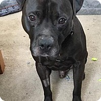 Pit Bull Terrier Mix Dog for adoption in Valparaiso, Indiana - Flynn