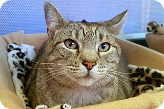 Domestic Shorthair Cat for adoption in Sarasota, Florida - baby Bella