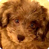 Adopt A Pet :: HOLLAND(OUR GOLDENDOODLE PUPPY - Wakefield, RI