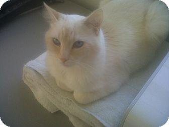 Siamese Cat for adoption in Fairborn, Ohio - Silent Bob