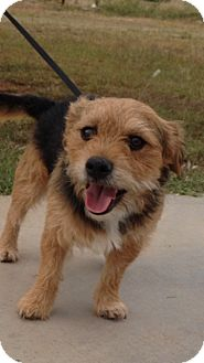 Yorkie, Yorkshire Terrier/Terrier (Unknown Type, Small) Mix Dog for adoption in Boulder, Colorado - Pauli