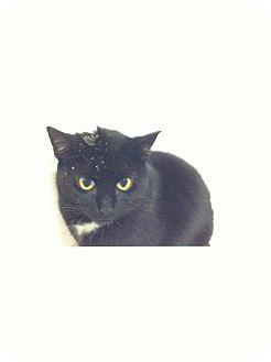 Domestic Shorthair Cat for adoption in Toronto, Ontario - Emma