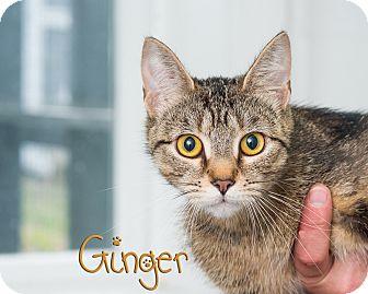 Domestic Shorthair Cat for adoption in Somerset, Pennsylvania - Ginger