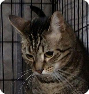 Domestic Shorthair Cat for adoption in Yuba City, California - Charlie