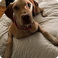 Labrador Retriever Mix Dog for adoption in Charleston, South Carolina - Carson