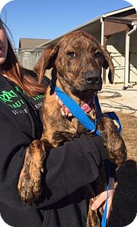Plott Hound/Hound (Unknown Type) Mix Puppy for adoption in Washington, D.C. - Esse