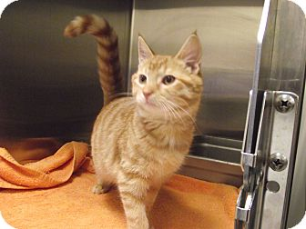 Domestic Shorthair Kitten for adoption in Chambersburg, Pennsylvania - Otis