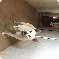 Adopt A Pet :: P Bear - Midland, TX