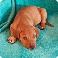 Adopt A Pet :: Katie's Puppy 3 - Pompton Lakes, NJ
