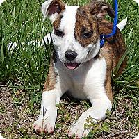 Adopt A Pet :: Delilah(10 lb) BIG Personality - Twinsburg, OH