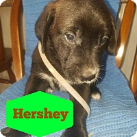 Labrador Retriever/Great Pyrenees Mix Puppy for adoption in Cleveland, Oklahoma - Hershey