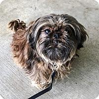 Adopt A Pet :: ZSA ZSA - Chico, CA