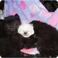 Adopt A Pet :: Long Hair Kitten's - Clay, NY