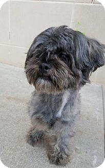 Shih Tzu Mix Dog for adoption in Morganville, New Jersey - Duke