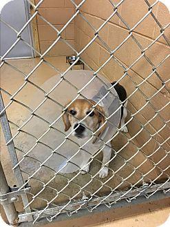 Beagle Dog for adoption in Goshen, New York - Honey