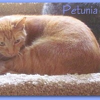 Domestic Shorthair Cat for adoption in Culpeper, Virginia - Petunia